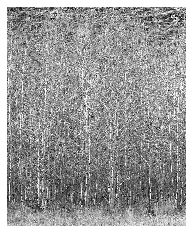 Aspen Grove, Eastern Sierra, California, 2017